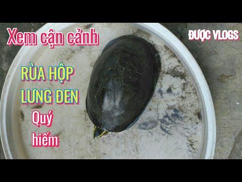 Rùa hộp lưng đen ( rùa nắp ) quý hiếm