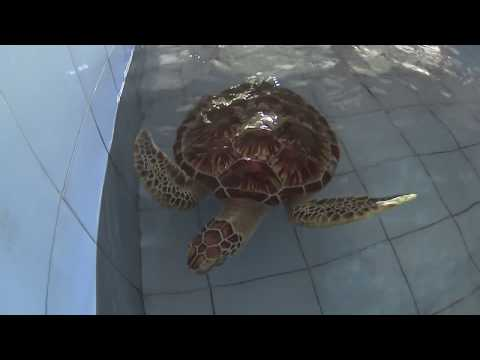 BABY TURTLE RELEASE IN BALI - Turtle Conservation and Education Centre Serangan