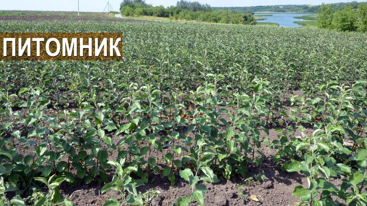 Яблоня Солнышко: описание, фото, отзывы 57