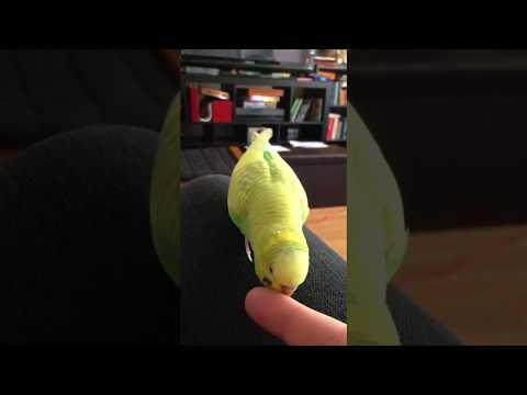 Cute Parakeet Talking Up a Storm!