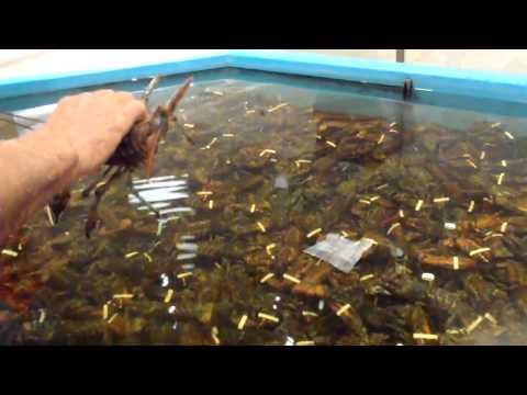 Tank full of Maritime Lobsters
