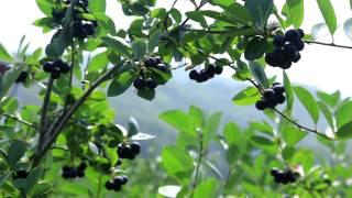 아로니아(블랙초크베리)농장 속리산 정농원