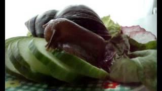 Fastest snail ever (Achatina fulica) nom nom Funny!