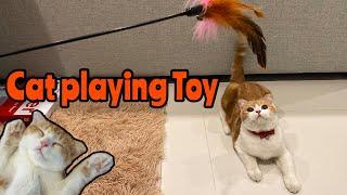 Cat Playing Toy || Scottish Fold Cat 'Amber' ~ ของเล่นแมว