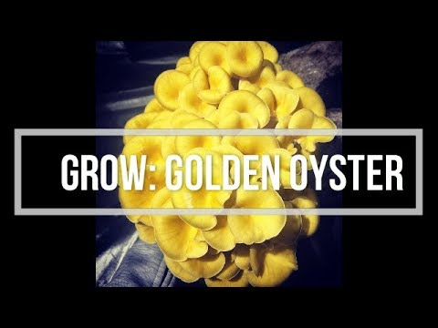 Grow Guide: Golden Oysters