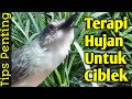 Manfaat Air Hujan Untuk Ciblek Tips Penting  Mp3 - Mp4 Download