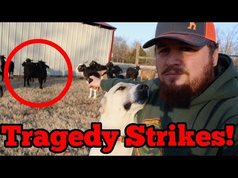 Livestock Guardian Dog Couldn't Save Our Goat's This Time!!