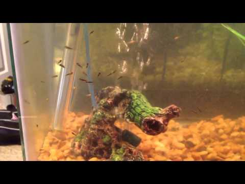 Oscar Baby Fish Fry At 3 Weeks Old