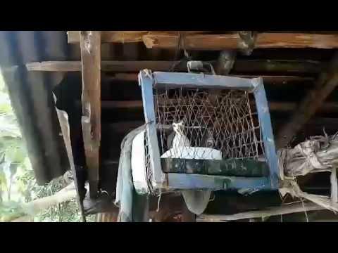 Suara merdu burung Baburak (Truwok)