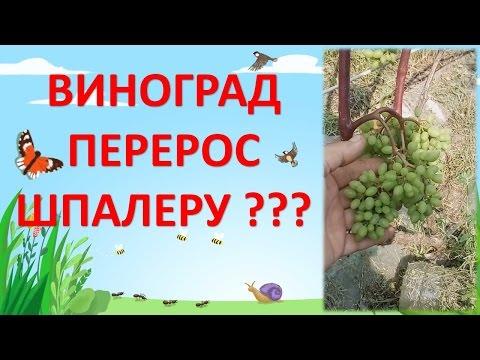 Вопрос: Когда собирать виноград в средней полосе России?