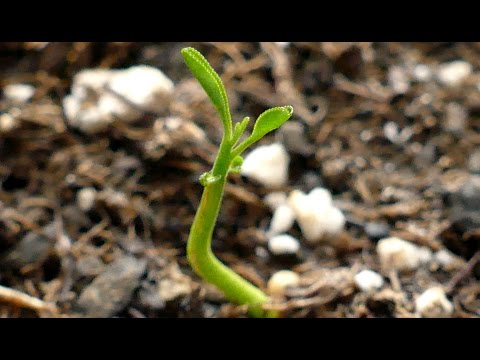 Growing Navel Orange Trees from Seeds, Days 26-43