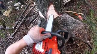 logging spurce - podiranje smreke (lubadar) - husquarna 350