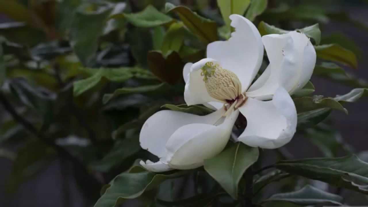 Magnolia Bloom Life Cycle Youtube