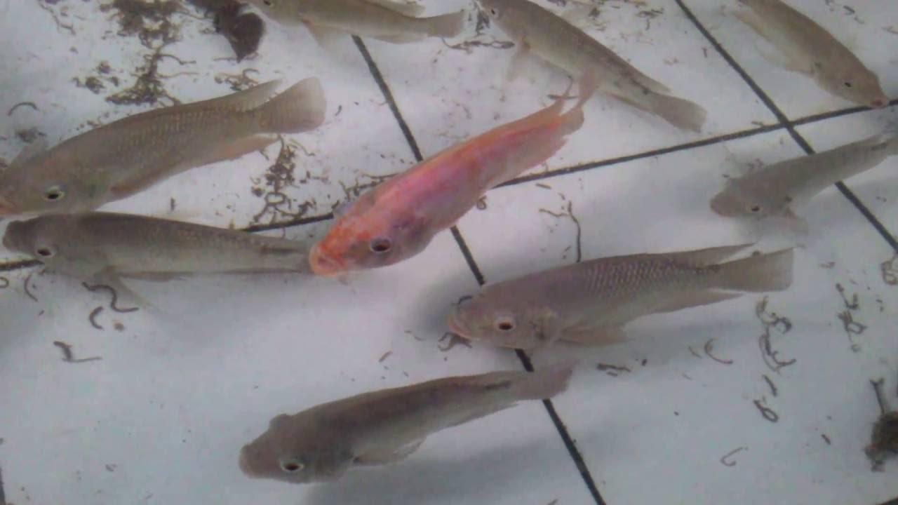 เลี้ยงปลานิล ปลาทับทิม ในบ่อซีเมนส์ ส่งขายรายได้ดี