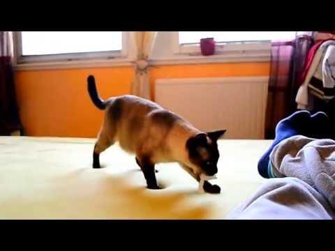 Part 2. HD FUNNY! SUPER CUTE siamese cat Sziámi cica, macska aranyos és édes