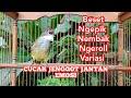 Masteran Cucak Jenggot Jantan Gacor Emosian Kicau Pidong  Mp3 - Mp4 Download