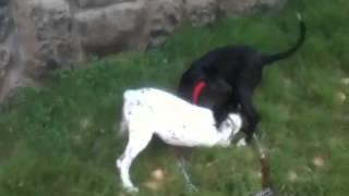 Dalmatian Vs Labrador!