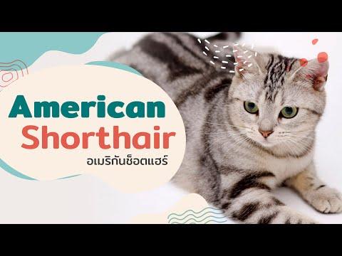 """5 เรื่องรู้หรือไม่ ของแมวสุดแสบ """"อเมริกัน ช็อตแฮร์"""""""