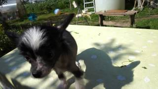Китайская хохлатая девочка щеночек голая продается 7000р