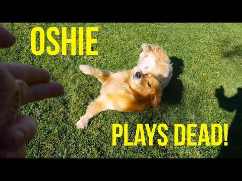 GOLDEN RETRIEVER PLAYS DEAD LIKE A PRO | Oshies World