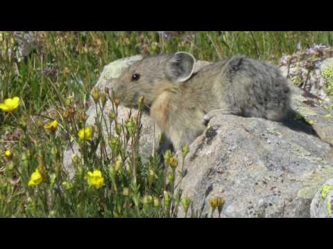 Why Pika Population are Declining