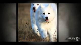 Самоедская лайка или самоед порода собак