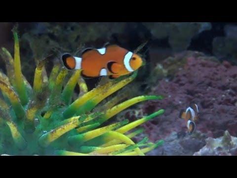Sex-Changing Clownfish (4-min)