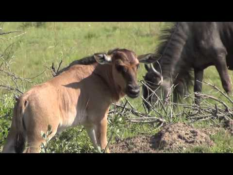 Baby Gnu (Wildebeest) sleeping and learning to walk