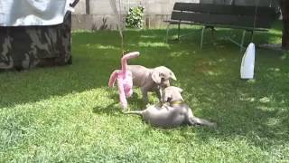 Weimaraner puppies playing by Human touch kennel