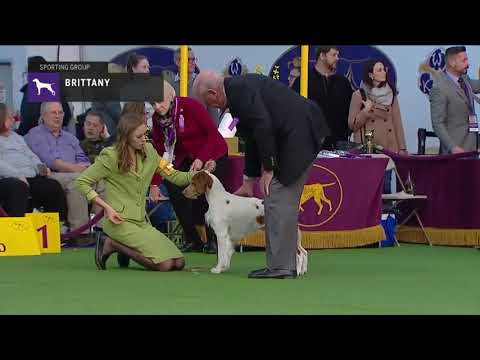 Brittanys | Breed Judging 2019