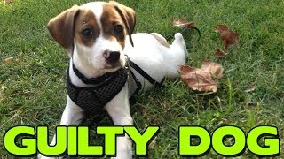 Guilty Dog! Jackabee Is Caught - Hilarious Reaction!