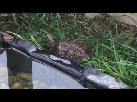 The Central American Wood Turtle
