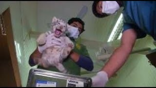 ホワイトタイガーの赤ちゃん、初めての健康診断=チリ(23日) thumbnail