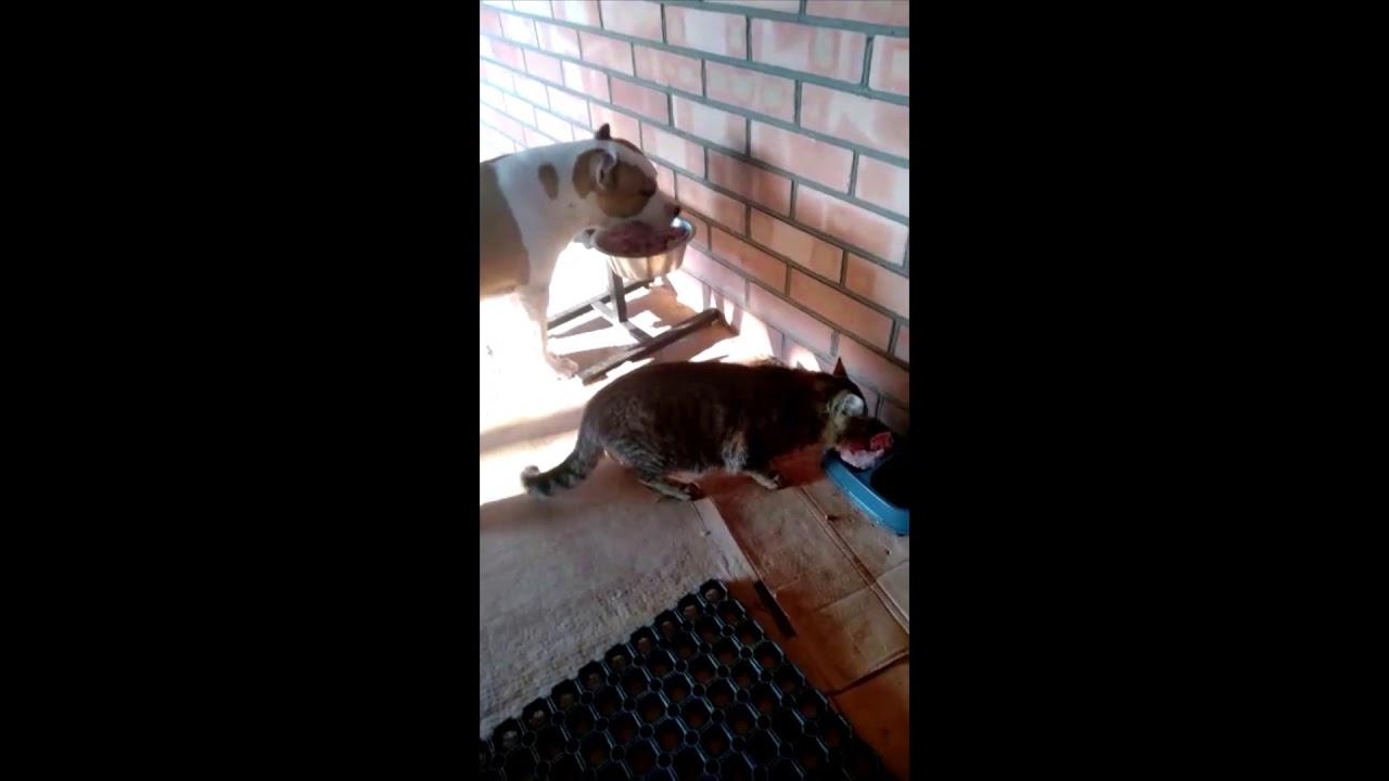 Собака Амстаффорд и Кот кушают вместе! - YouTube