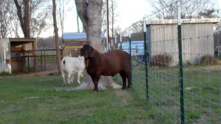 cbw choc o lot at get boer goats