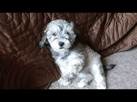 Allessia Toy Schnoodle