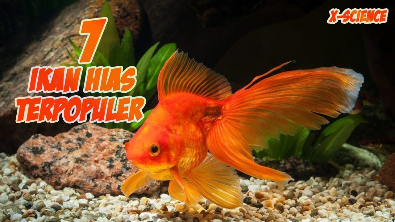 7 Ikan Hias Air Tawar Aquarium Terpopuler Di Dunia Youtube