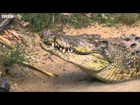 Crocodiles - Survivors: Nature's Indestructible Creatures - BBC Four