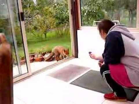 foxy, fait son timide