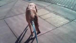 Stubborn Greyhound