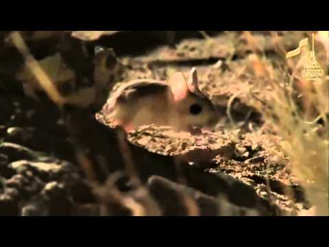 Qatars wild life , The JERBOA