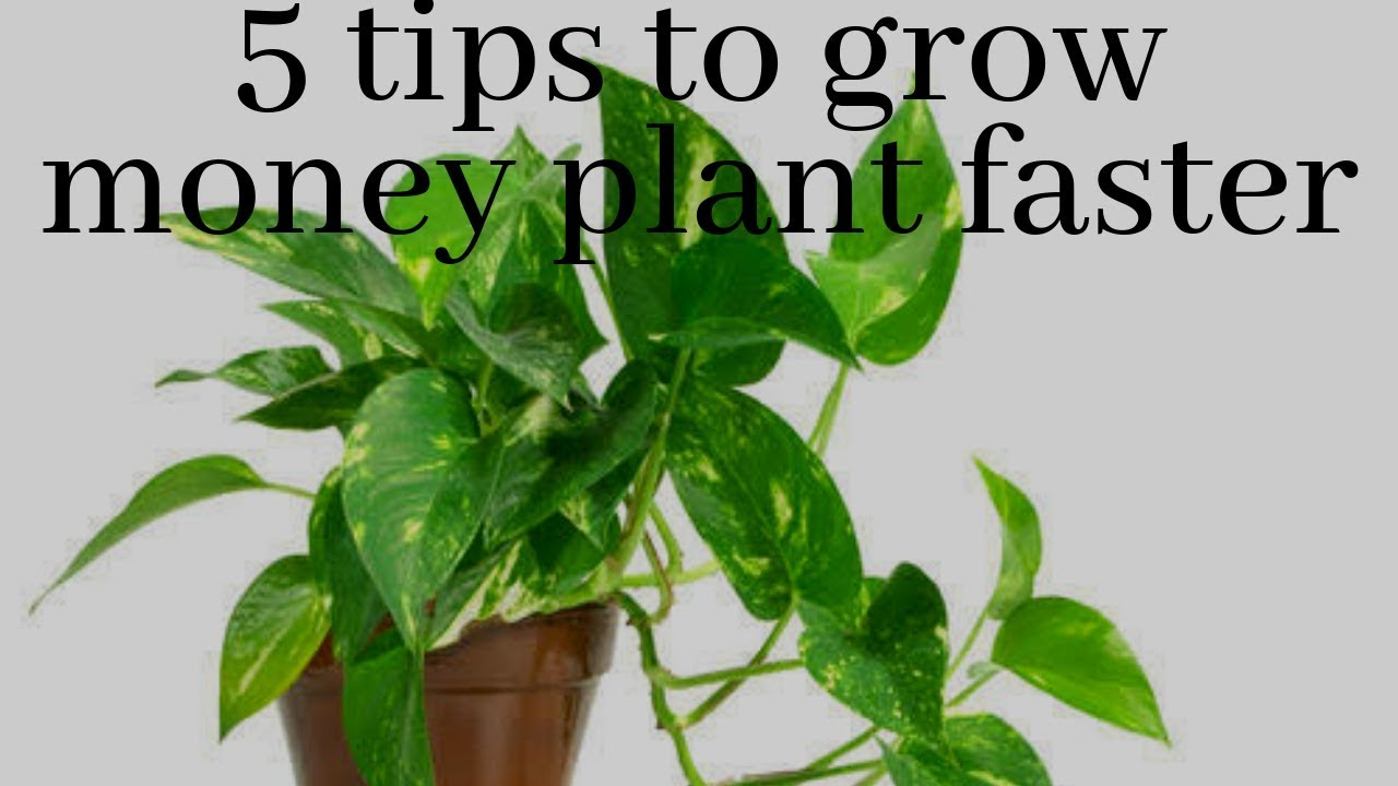 How to grow money plant faster || Top 5 tips to grow money plant