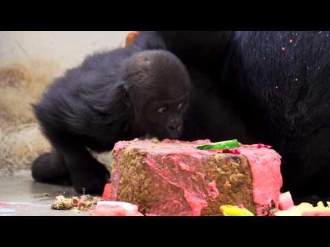 Baby Gorilla Gladys gets 1st Birthday Cake - Cincinnati Zoo