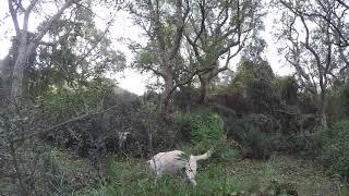 caccia alla beccaccia con il labrador una lunga pedina 10 1 2019 labrador retriever woodcock hunting