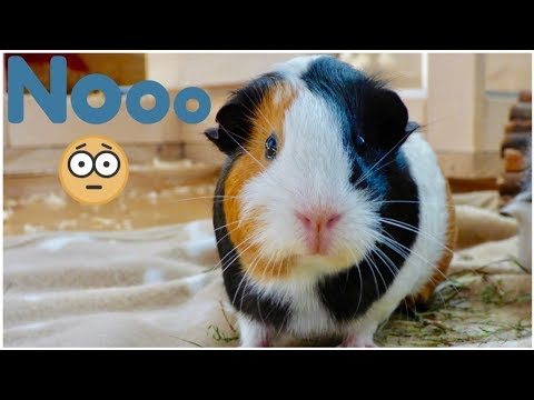 Things to Avoid to Keep Your Guinea Pigs Healthy