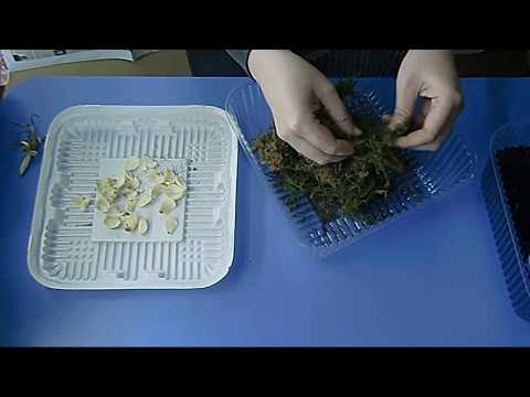 🌼Лилия, размножение чешуйками. 100 новых луковиц из одной ! Просто удивительно🌼 🌱