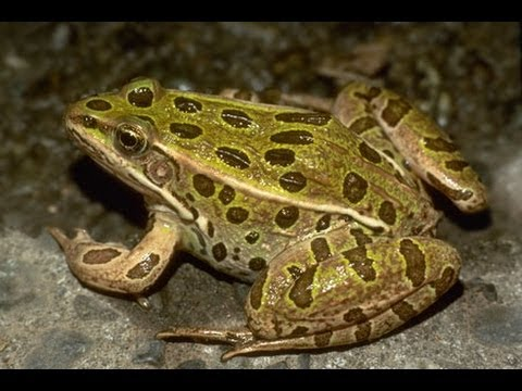 Northern leopard frog eating - photo#40