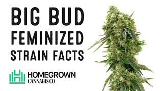Big Bud Feminized Strain Facts And Seed Grow Info