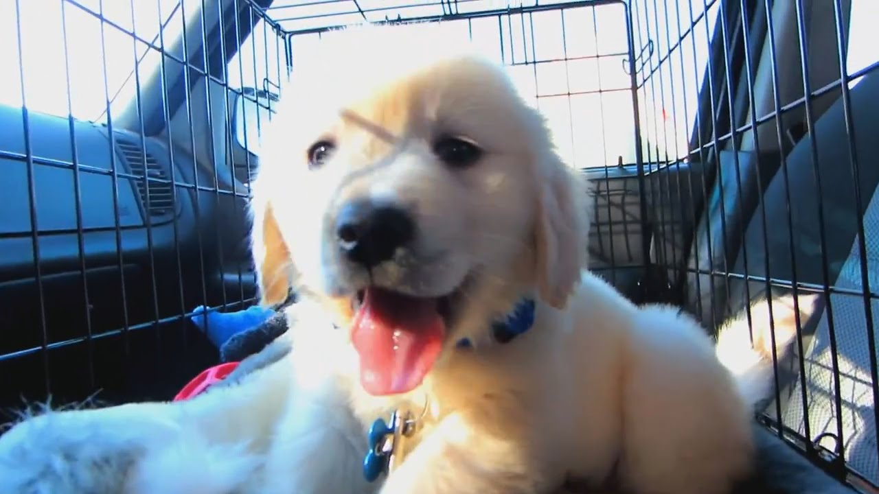Owner Made The CUTEST Video Following His Golden Retriever