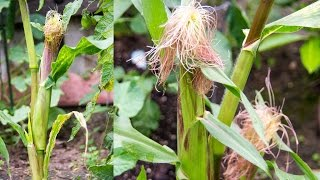 Growing Sweet Corn In Containers